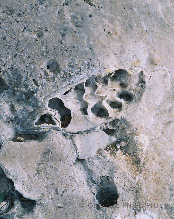0504-1031 ~ Copyright: George H. H. Huey ~ Fossil along the Mckittrick Canyon Geology trail. Guadalupe Mountains National Park, Texas