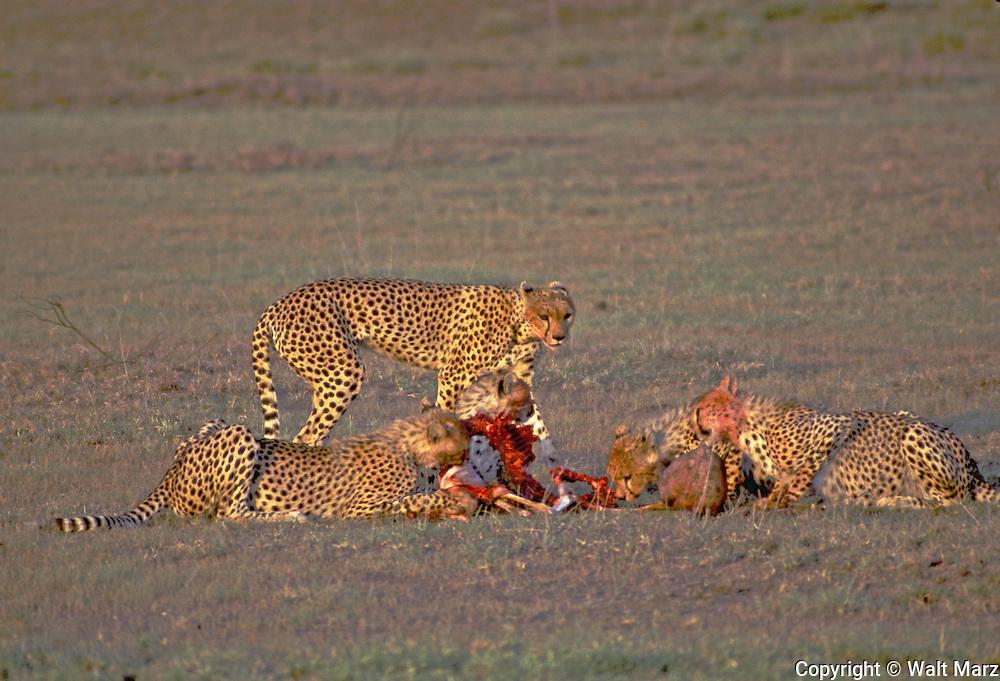 Cheetah Family on early morning kill, Serengeti NP