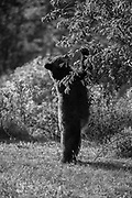 American black bears (Ursus americanus) need to gorge on high energy foods before the brutal winter arrives in northern Montana, in the Many Glacier region of Glacier National Park, Montana, USA