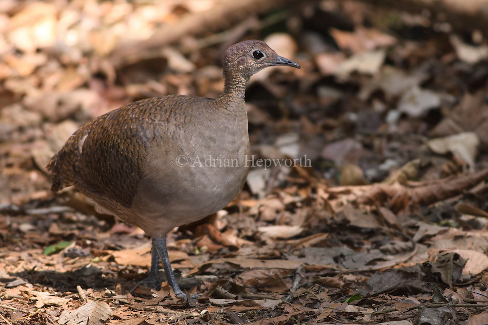 Great Tinamou (Tinamus major) in rainforest. Corcovado National Park, Osa Peninsula, Costa Rica. March 2012.. We accept payments via PayPal.