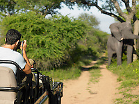Man on safari taking photograph of elephant back view