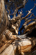 The branches of a bristlecone pine twist and curl toward the sky