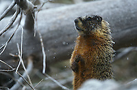 Yellow-bellied Marmot standing on hind legs by fallen tree trunk