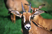 Close up of antelope at the Oakland zoo. 1999