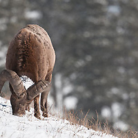 trophy bighorn ram feeding, head down, in the snow, winter habitat, rocky mountains wild rocky mountain big horn sheep