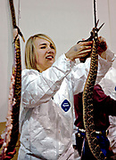 A Jaycee volunteer snake handler process a western diamondback rattler removing the skin during the 51st Annual Sweetwater Texas Rattlesnake Round-Up March 13, 2009 in Sweetwater, Texas. During the three-day event approximately 240,000 pounds of rattlesnake will be collected, milked and served to support charity.