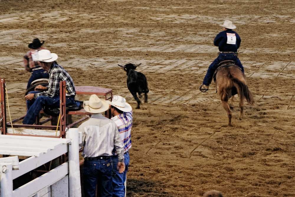 Calf tie at a rodeo event, Cowtown, New Jersey, USA.