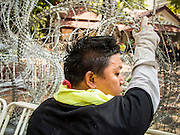 04 DECEMBER 2013 - BANGKOK, THAILAND:  A protestor rolls up razor wire deployed by Thai police during an anti-government protest at police headquarters in Bangkok. Several hundred anti-government protestors tried to occupy Royal Thai Police Headquarters on Rama I Road in central Bangkok Wednesday. The protest was one of the continuing protests against the government of Prime Minister Yingluck Shinawatra. Police commanders allowed protestors to tear down police barricades and ordered riot police to lay down their shields. Protestors then chanted anti-government slogans and called on police to turn against the government before forming a motorcade and leaving the area. Anti-government protests have gripped Bangkok for nearly a month and protestors vow to continue their actions. Protests Wednesday were much smaller and more peaceful than protests earlier in the week.     PHOTO BY JACK KURTZ