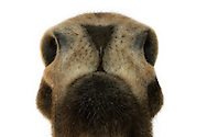 Nose of a moose (Alces alces), photographed from below. The moose has a strong overhanging upper lip ending in its nose. Moose have a nose (Rhinarium), referred to them as a muffle. This is hairless and formed by mucosal area around the nostrils, which can reach up to the upper lip. The nostrils are very large, widely opened and turned forward. To the side they constrict and taper to a point. The moose also pick up the scent coming from behind. The sense of smell is well developed. Moose can differ between the smellt object and furthermore the distance to it. The social communication of the moose takes place over the perception of scents. While diving and swimming the nostrils can be closed. Inside the nose are branched nasal passages. The breathing air is warmed up in the nasal passages by up to 15 degrees, before it reaches the lungs. This is important because moose are common in regions where the temperature can drop to minus 50 degrees. Game reserve Thomas Golz, Schenkenberg, Germany. / Nase eines Elches (Alces alces), von unten fotografiert.  Der Elch besitzt eine stark ueberhaengende Oberlippe an deren Ende sich die Nase befindet. Elche haben einen Nasenspiegel (Rhinarium), der bei ihnen als Muffel bezeichnet wird. Dies ist der haarlose und durch Schleimhaut gebildete Bereich um die Nasenloecher, der bis zur Oberlippe reichen kann. Die Nasenloecher sind sehr gross, weit geoeffnet und nach vorne gerichtet. Zur Seite hin verengen sie sich und laufen spitz zu. Dadurch kann der Elch auch von hinten kommende Witterung aufnehmen. Der Geruchssinn ist hervorragend entwickelt. Elche koennen anhand des Geruches nicht nur das Objekt, sondern auch die Entfernung feststellen. Auch die soziale Kommunikation der Elche untereinander findet ueber das Wahrnehmen von Dueften statt. Beim Tauchen und Schwimmen koennen die Nuestern zusammengezogen werden. Im Inneren der Nase befinden sich verzweigte Nasengaenge. Die Atemluft wird in den Nasengaengen um bis z