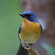 The hill blue flycatcher (Cyornis banyumas) is a species of bird in the family Muscicapidae. It is found in southern China and Southeast Asia.