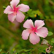 Chinese Hibiscus, Hibiscus Rosa-sinensis, Barclay Memorial Park, Tainan City, Taiwan