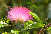 Pink Calliandra AKA Powder-puff, Powder puff Plant and Fairy Duster.