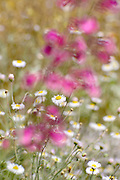 Erigeron divergens, (Spreading Fleabane), (white), and Penstemon parryi, (Parry's Beardtongue), (pink), grow along the Desert Loop Trail at the Arizona-Sonora Desert Museum, Tucson, Arizona, USA.