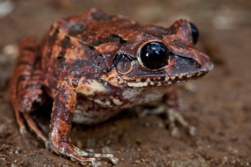 Burrowing frog, Eleutherodactylus aporostegus, from the Massif de la Hotte, Haiti