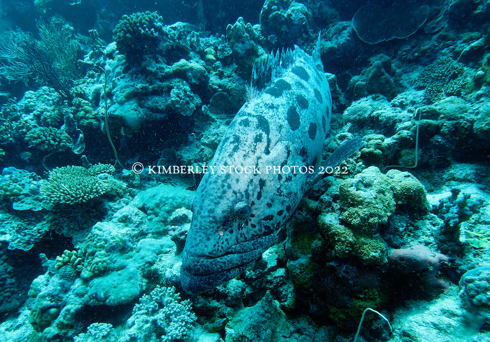 """Cuddles"" the Pototo Cod, at Cod Hole on Mermaid Reef."