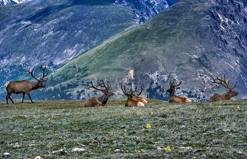 Herd of elk resting on mountain top, Rock Mountain National Park, Colorado, USA.