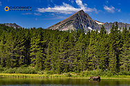 Cow Moose Feeds in Fishercap Lake with Swiftcurrent Mountain in Glacier National Park, Montana, USA