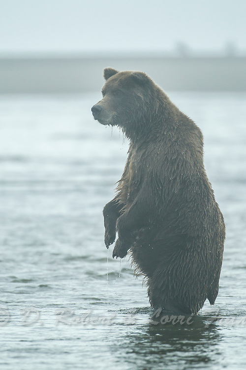 Alaskan brown bear chasing silver salmon