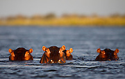 Hippos. Zambezi river. Lower Zambezi National Park. Zambia. Africa