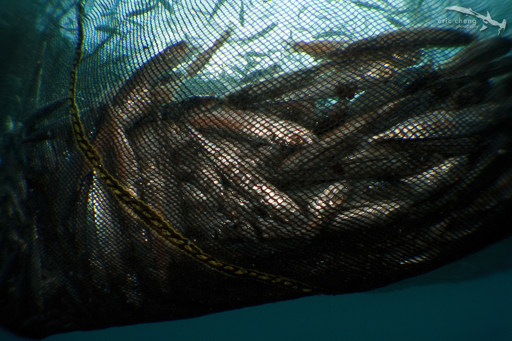 A fish net in Lembeh Strait, Indonesia. echeng100306_0253610