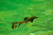 A brook trout swims in an alpine lake in the Lost River Range of Idaho.