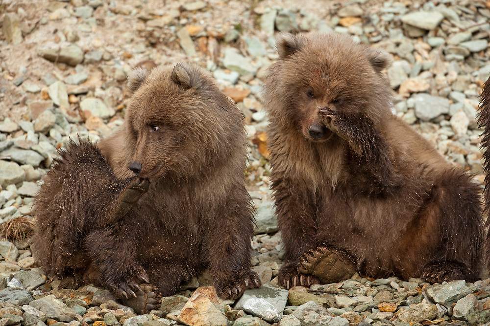USA, Alaska, Katmai National Park, Grizzly Bear Spring Cubs (Ursus arctos) sitting on banks of salmon spawning stream by Kinak Bay on autumn afternoon
