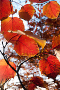Late Autumn red leaves