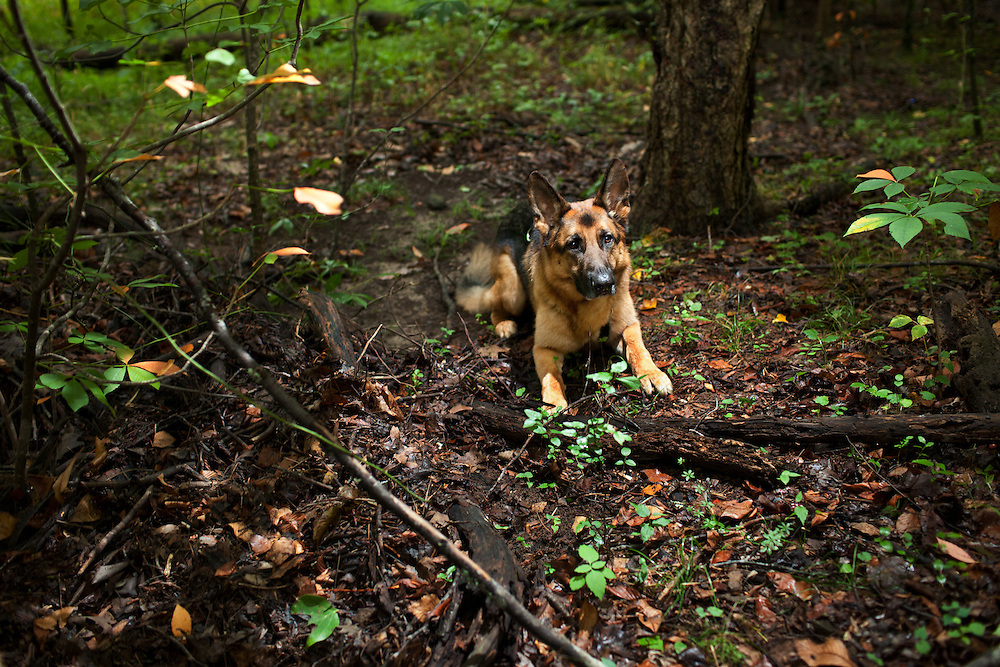 "Solo, a cadaver dog, training near the Eno River in Durham, North Carolina. Commissioned by Author Cat Warren for her NYT bestselling book ""What the Dog Knows: Scent, Science, and the Amazing Ways Dogs Perceive the World."""