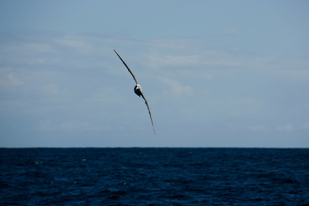 Jan. 30, 2007. Southern Ocean. An Albatross flies across the Southern Ocean.
