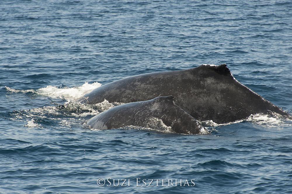 Humpback Whale<br /> Megaptera novaeangliae<br /> Mother and calf<br /> Sea of Cortez, Baja California, Mexico