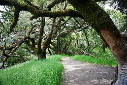 Ancient Oaks along the Ancient Oaks Trail, Russian Ridge Open Space hiking trails, Palo Alto, California, United States of America.