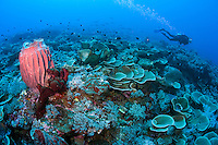 Diver and Healthy Reef with Scroll Corals and Barrel Sponge<br /> <br /> Shot in Indonesia