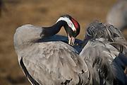 Eurasian Crane (Grus grus) from lake Hornborga, Sweden.