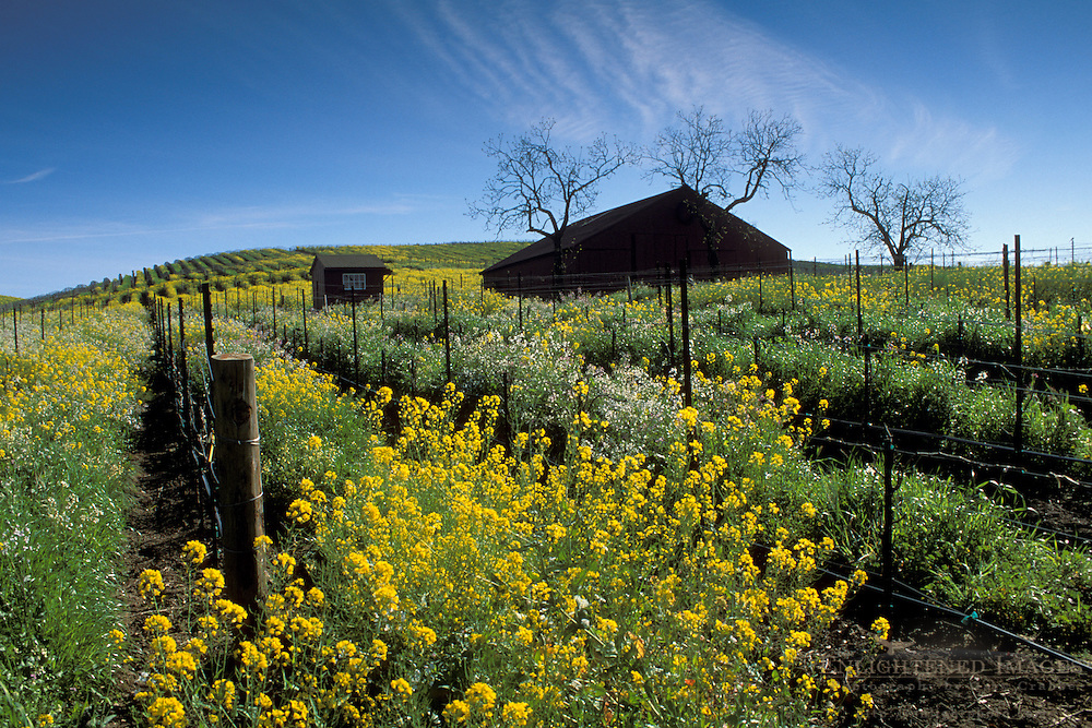 Barn and mustard flowers bloom in spring in a vineyard in the Carneros Region, Napa Valley Wine Country, California