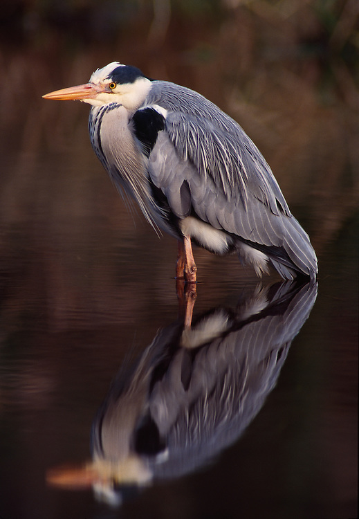 Adult grey heron reflected at roost site