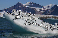 Flock of black-legged kittiwakes (Rissa tridactyla) rest on small iceberg amid glaciers and mountains of Kongsfjorden, Svalbard.
