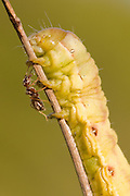 Caterpillar beseiged by ants. Dorset, UK.