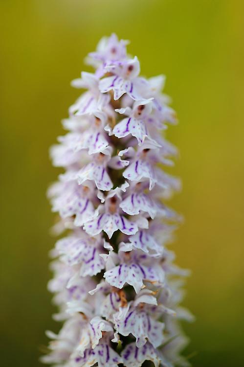 Heath Spotted Orchid (Dactylorhiza maculata), Denmark
