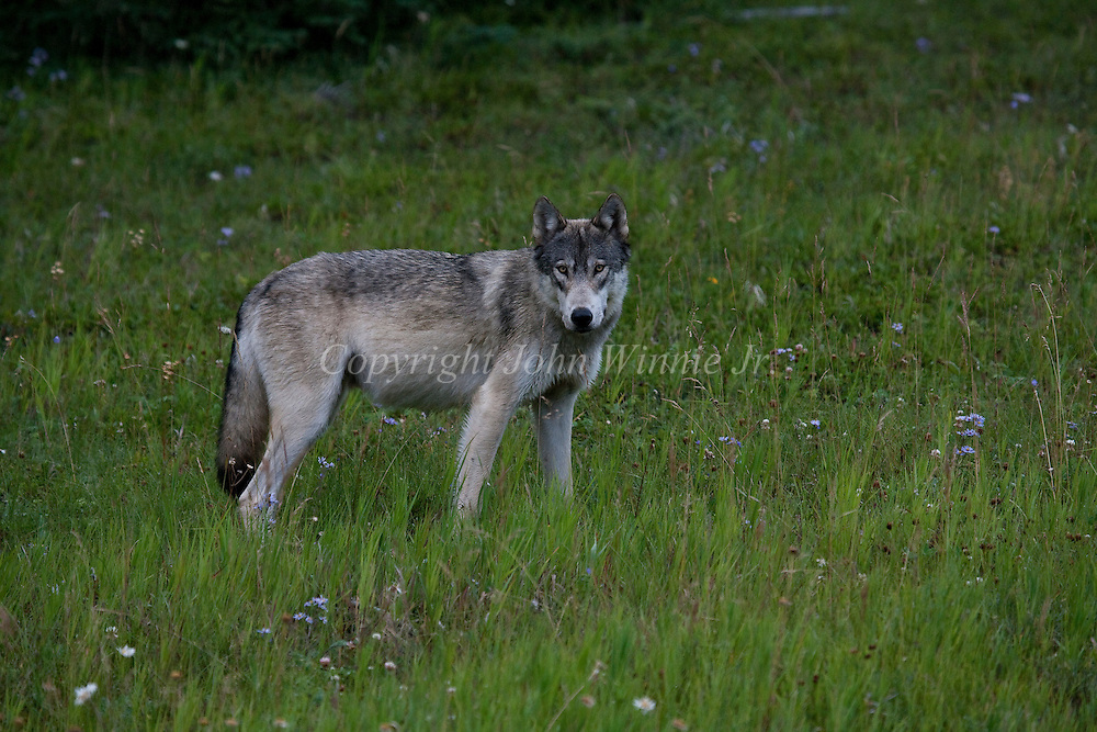 Timber wolf kootenay national park canada john winnie jr kootenay national park canada sciox Image collections