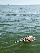 A dead brown pelican floats in the water after being killed by shrimp fisherman as the pelicans interfere in the nets and catch. (photo by Richard Ellis) (photo by Charleston SC photographer Richard Ellis)