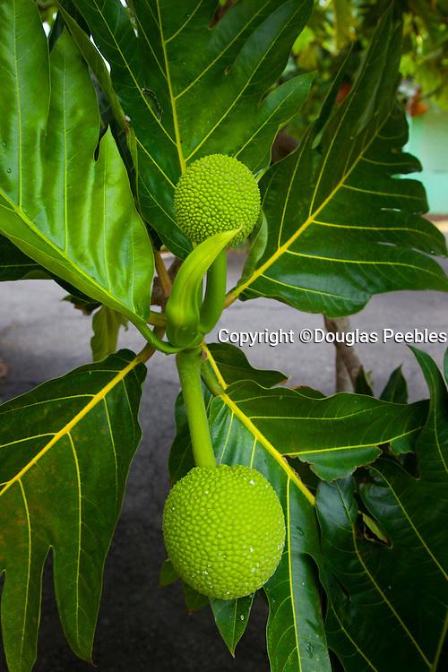 Breadfruit tree; Maui Nui Botanical Gardens; Kahului; Maui; Hawaii; green