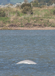 © Licensed to London News Pictures. 25/09/2018. Gravesend, UK. A mammal has been spotted in the Thames at Gravesend which is reported to be a Beluga Whale. A crowd has gathered on the foreshore from as far away as Hertfordshire to see the whale. Photo credit : Rob Powell/LNP
