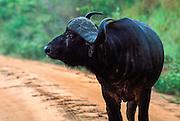 Cape Buffalo with runny nose, Nairobi National Park, Kenya, Africa