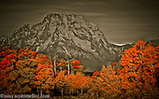 Mt.Moran stands over fiery fall aspens on the banks of the Snake River in Jackson hole.