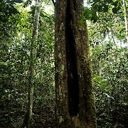 Arbre à Quinine. Seringal Cahoeira immersion dans la forêt primaire et enseignement du seringuerions Nilson Mendes, cousin de chico mendes.