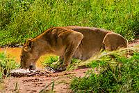 Lioness drinking water, Murchison Falls National Park, Uganda.