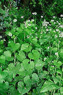 GARLIC MUSTARD Alliaria petiolata (Brassicaceae) Height to 1m. Familiar wayside biennial, often found in hedgerows and on roadside verges. FLOWERS are 6mm across with 4 white petals (Apr-Jun). FRUITS are cylindrical, ribbed and 4-5cm long. LEAVES are heart-shaped, toothed and borne up stem; they smell of garlic when crushed. STATUS-Widespread and common, but least so in N and W or region.