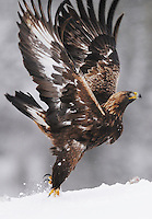 Golden eagle (Aquila chrysaëtos), Flatanger, Norway.