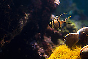 Banggai Cardinalfish at the National Aquarium in Baltimore, MD. Photo by PointShoot Photography