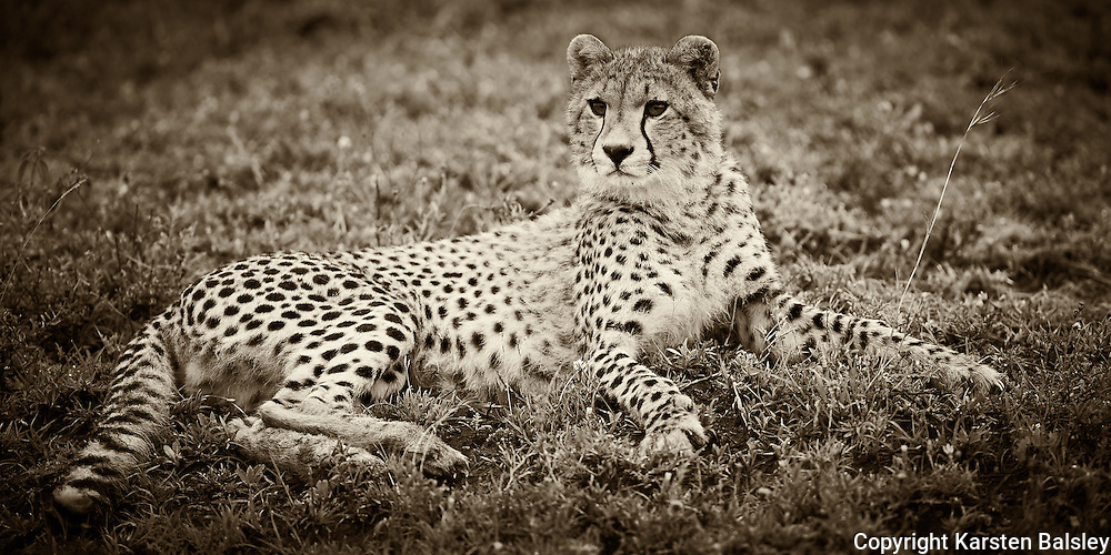 &ldquo;Ndutu Cheetah&rdquo;                                             Tanzania<br />  In the early moments before the sun rose,  we came across a group of cheetahs. High on the hillside waiting for the warming rays of the sun, they watched for the passing herds that are so essential for life.